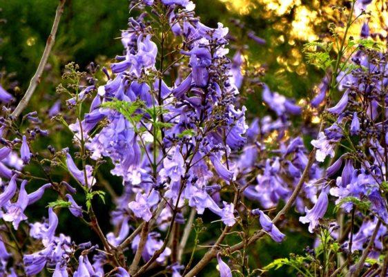 Flor de jacaranda