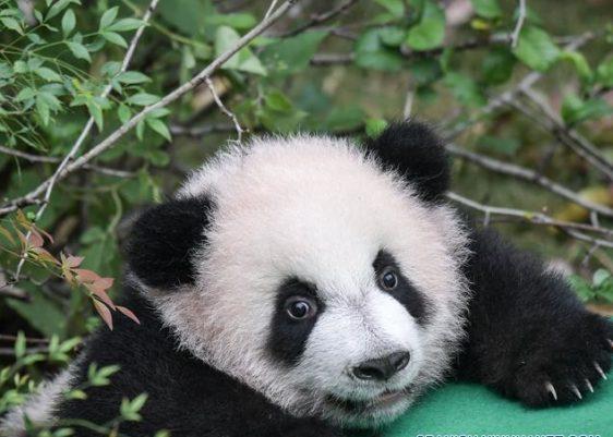 osos panda-cautiverio-nacimiento-incidencia