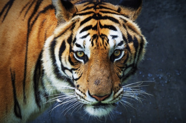 Tigre fuente, freepik,